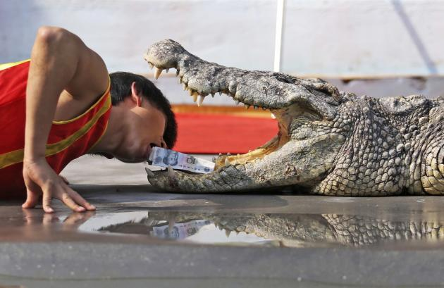 A trainer picks up Chinese Yuan banknotes from the open mouth of a crocodile during a performance at a zoo in Wenling