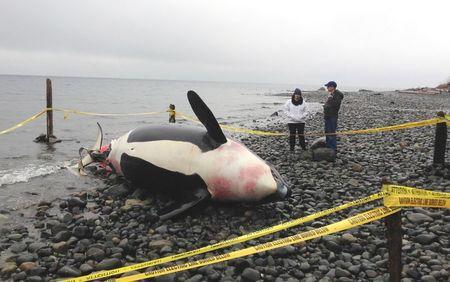 Infection from pregnancy killed endangered orca off Canada's Pacific coast