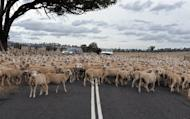 Photo illustration shows a flock of sheep on a country road in Australia. A government study into ownership of Australian agriculture published in January found that foreign firms controlled about half of the nation's key food industries but offshore investors owned just 11 percent of its farmland