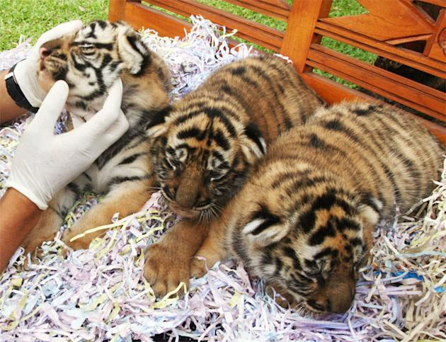 A veterinarian examines three 20-day-old Bengal tiger cubs at Bali Zoo Park, in Gianyar, Bali resort island June 29, 2012. The Bengal tiger is a tiger subspecies native to India, classified as endange
