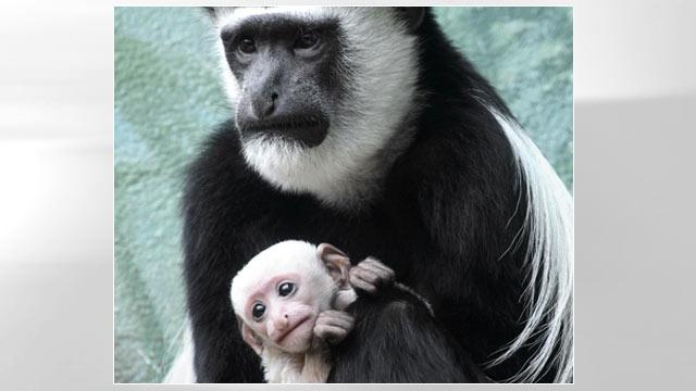 Baby Colobus Monkey on Display at St. Louis Zoo