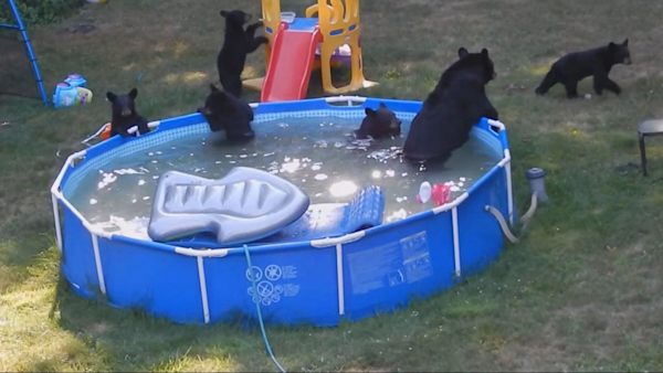 Watch backyard bears steal goldilocks pool floatie yahoo for Bears in swimming pool new jersey