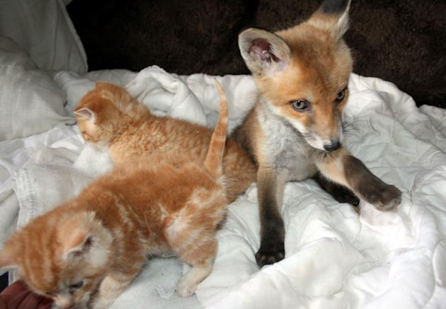 kittens nurse fox to health