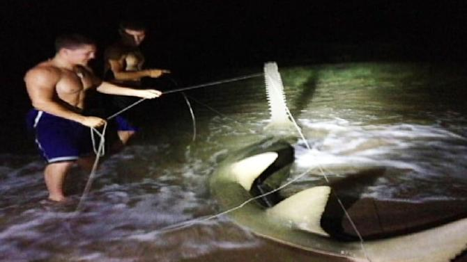 Rare Sawfish Caught in South Florida
