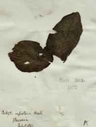 "This potato specimen from the Kew Garden herbarium was collected in 1847, during the height of the Irish famine. The legend reads ""Botrytis infestans,"" because it was not yet known that Phytophthora does not belong to the mildew-causing Botryti"