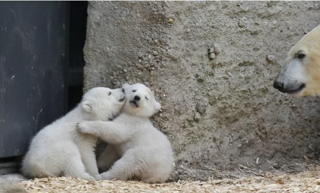 Twin polar bear cubs play next their mother Giovanna in their enclosure at Tierpark Hellabrunn in Munich