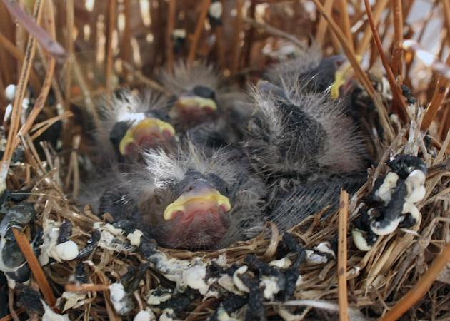 In this Thursday, May 21, 2015 photo, young house finches wait for food in a nest made on a porch planter in Milwaukee,  (AP Photo/Carrie Antlfinger)