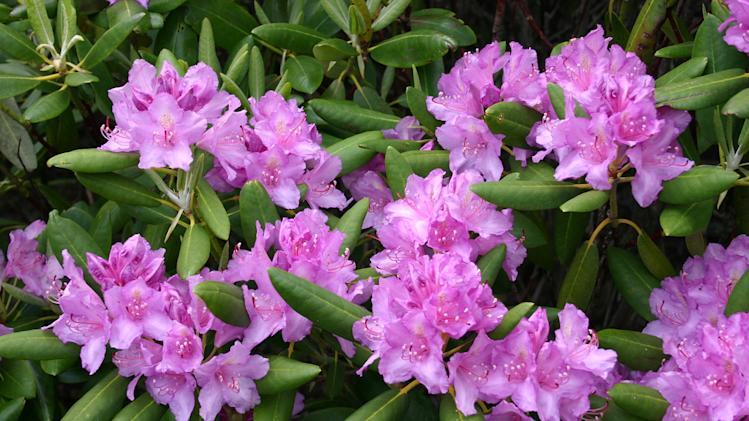 A dozen of the deadliest garden plants rhododendron