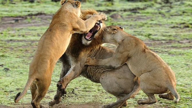 Cat Fight In The Savannah