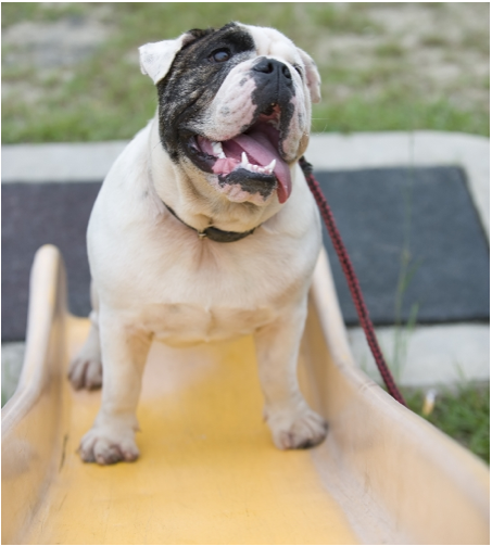 Bulldog on a Slide