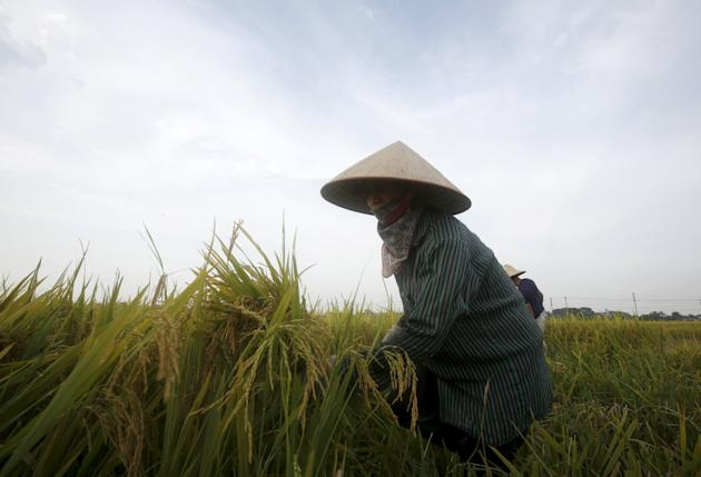 A farmer harvests rice on a paddy field in Vinh Ngoc village, outside Hanoi, Vietnam