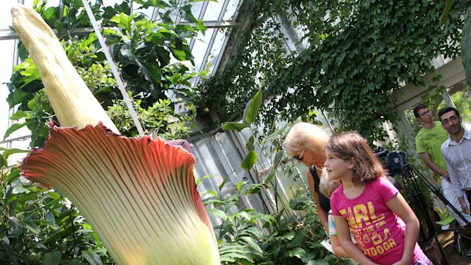 A girl looks at the Amorphophallus Titanum, also known as the Titan Arum or Corpse flower, because of it's smell, one of the world's largest flowers, at the National Botanic Garden in Meise near Brussels, Monday, July 8, 2013. The rare phallus-like flower that springs from the plant only survives about 72 hours. (AP photo/Yves Logghe)