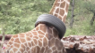 Wildlife officials remove a tire stuck around giraffe's neck after hours tracking it down
