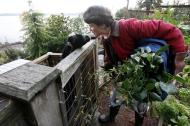 In this Monday, Nov. 28, 2011 photo, Jennie Grant leans down to greet Eloise before bringing in an arm load of cuttings for a morning feeding in Seattle. No stranger to urban farming, Grant already had chickens, bees, and a large vegetable garden before she added goats to her lineup. After doing some research, she cleared a 20-by- 20-foot patch of her yard, fenced it in, and added a shed, feeding stations, and the goat equivalent of a jungle gym. (AP Photo/Elaine Thompson)