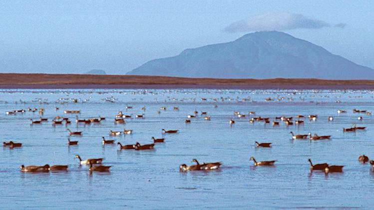 This undated photo released by the U.S. Fish and Wildlife Services shows geese swimming in Izembek Lagoon in the Izembek National Wildlife Refuge, Alaska. Izembek Lagoon is 25 miles of Alaska ocean sheltered from the Bering Sea by long barrier islands, but it's what's beneath the water that makes it special for environmentalists. The shallow lagoon is home to the largest known bed of eelgrass, a plant that grows like green ribbons from the ocean floor and every autumn provides a nutritious buffet for waterfowl that spend summers in Alaska or Russia and head south for  warmer climates. (AP Photo/ U.S. Fish and Wildlife Services, Chris Dau, File )