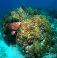 Populations of commercially-important species like this red grouper have increased following 'no-take' protections in the Tortugas Ecological Reserve in the Florida Keys.