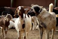 An Anatolian Shepherd dog guards a herd of goats at the Cheetah Conservation Fund (CCF) center in Otjiwarongo, Namibia, on August 13, 2013. The dogs have handed a lifeline to Namibia's decimated cheetah numbers by reducing conflicts between farmers and predators