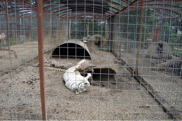 In this June 24, 2012 photo provided by Tracey Kuehl, a white tiger lies on its back near a log in it's year-round caged enclosure at Cricket Hollow Zoo in Manchester, Iowa. A federal lawsuit agai