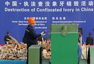 A worker throws a piece of ivory into a machine to be crushed during a public event in Dongguan, south China's Guangdong province on January 6, 2014