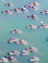 File photo of Yangtze alligators at the Yangtze Alligator Reproduction Center in east China's Anhui Province. Chinese alligator numbers fell by 97 percent from 1955 to 2010