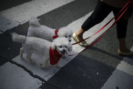 Dogs wear traditional red scarves in Pamplona