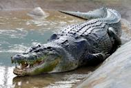Lolong, a one-tonne, 6.17 metres crocodile believed to be the biggest to have ever been caught, is seen in a caged pen in the southern Philippine town of Bunawan, on September 21, 2011. Lolong has died, 17 months after the suspected man-eater was hunted down and put on display for tourists, according to his caretakers