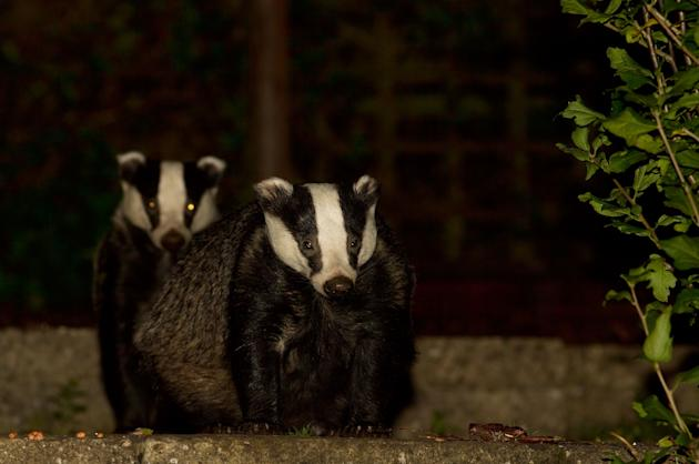 March: Supposedly extinct large tortoiseshell butterflies were seen at Newtown on the Isle of Wight. Badgers (pictured) struggled to find food in dry soil, as much of England was gripped by drought an