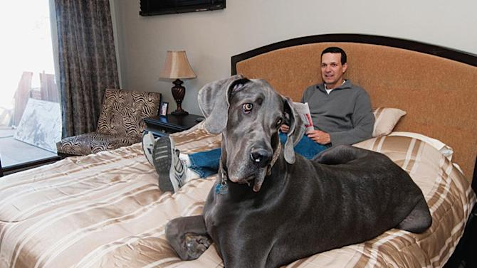 Giant George: Great Dane Is Guinness World Record Holder ... - photo#16