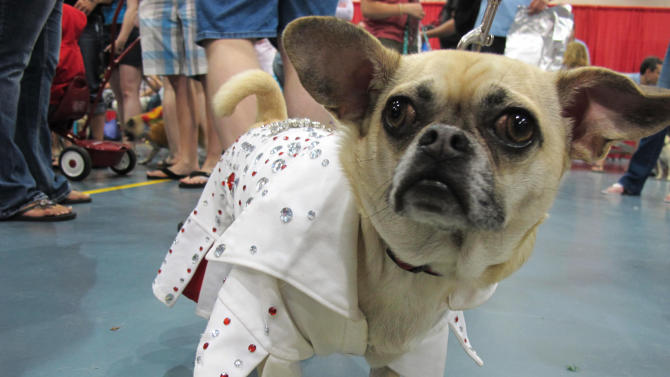 In this May 19, 2013, photo King, who is a chihuahua-pug mix, poses in his Elvis costume at Milwaukee Pug Fest in Franklin, Wis. The annual event, that helps pay for medical and dental bills for rescued pugs, attracted more than 1,700 pugs and other smushy-faced dogs along with 2,900 humans from the U.S. and Canada. (AP Photo/Carrie Antlfinger)