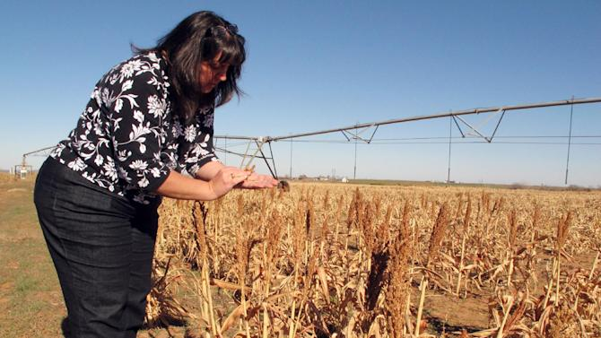 In this Tuesday, Dec. 11, 2012 photo, Caddo County farmer Karen Krehbiel examines unharvested milo on her family's farm near Hydro, Okla. Not all of the farm's milo fields were irrigated because of an ongoing drought, the latest natural disaster to strike the county, which also has been beset in recent years by floods, tornadoes, ice storms and hail. (AP Photo/Sean Murphy)