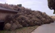 Tumbleweed Invasion Buries House In Texas
