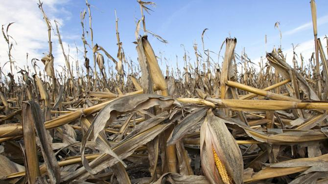 FILE - In this Sept. 19, 2012 file photo, corn plants weakened by the drought lie on the ground after being knocked over by rain in Bennington, Neb. Slowing the buildup of greenhouse gases responsible for warming the planet is one of the biggest challenges the U.S. _ and President Barack Obama _ faces. The impacts of rising global temperatures are widespread and costly: more severe storms, rising seas, species extinctions, and changes in weather patterns that will alter food production and the spread of disease. (AP Photo/Nati Harnik, File)