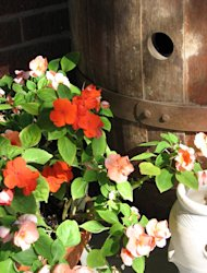 Cutting impatiens back encourages compact foliage.