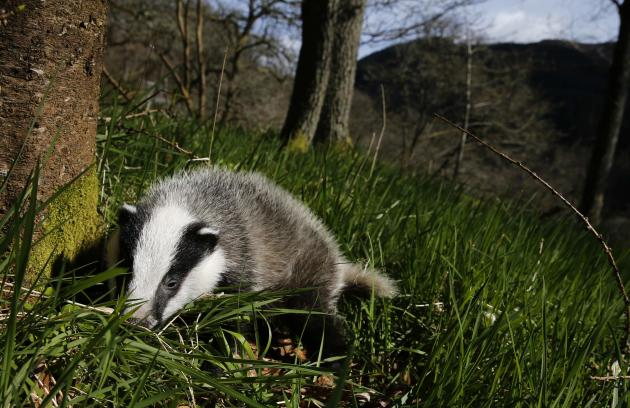 Badger walks in woodland under the spring sunshine in Perthshire