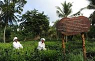 In this picture, taken on June 26, Sri Lankan labourers are seen at a tea plantation in Ahangama, some 140km south of Colombo. Sri Lanka is known for its exotic tea and is a top exporter of the commodity, but the industry is deeply divided over plans to boost earnings by importing cheaper tea for blending and re-export