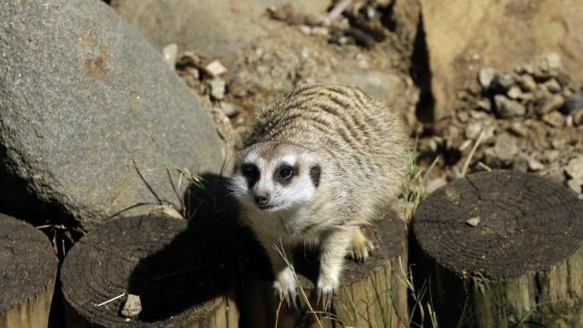 Tiny Meerkat live video app taking Twitter by storm