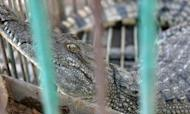 Fugitive Crocodile Caught By Gaza Police