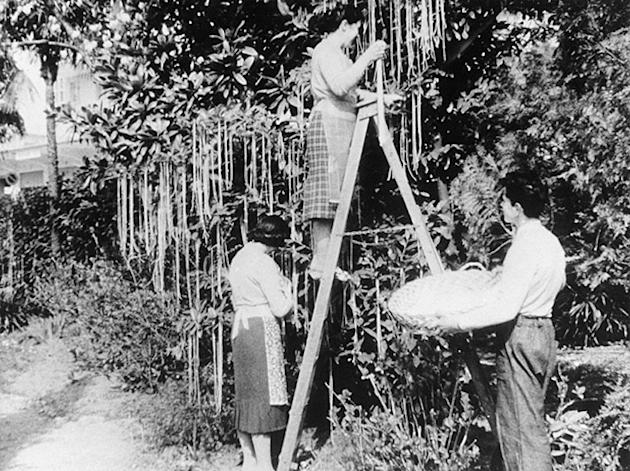 Thousands believed the BBC Panorama documentary which claimed Swiss farmers were growing spaghetti on trees (BBC)