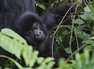 A young member of the Agashya family of mountain gorillas frolick in dense undergrowth at the Virunga National park in Rwanda. Eating the mountain apes is taboo here, but they were previously targeted, with their hands used for grim trophies, while baby gorillas were seized for private illegal zoos