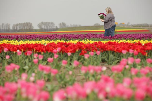 Tulips Blossom Near Magdeburg