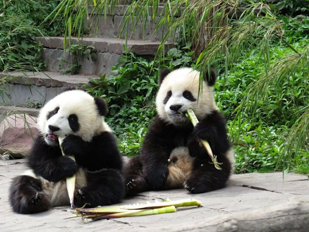 Giant pandas eat bamboo at the Bifengxia Base of China Conservation and Research Centre in Ya'an, southwest Sichuan province, on April 20, 2013. Pandas living in a reserve near the epicentre of China's weekend quake clambered up trees in panic as their forest home was jolted, but none were injured, according to Chinese officials