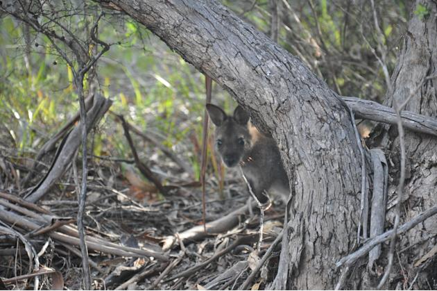 Besides the ever-popular Tasmanian Devil, Tasmania is also home to a wide array of wildlife, like the wallaby pictured here. By the way, did you know that Tassie was once known as Van Diemen's Land? T
