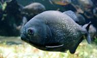 Piranha Attack: Dozens Hurt In Argentina