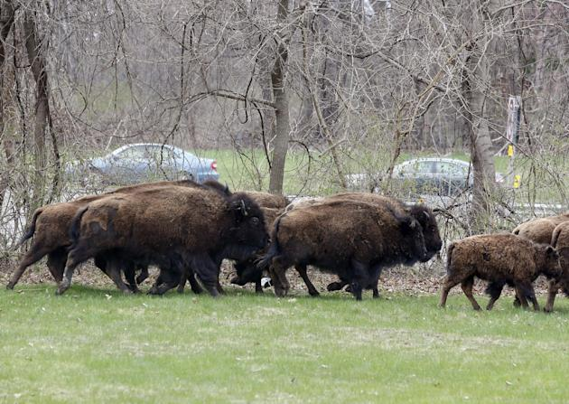 A herd of buffalo runs in a yard adjacent to the New York State Thruway on Friday, April 24, 2015, in Bethlehem, N.Y. About 15 of the animals got loose Thursday from a farm in the Rensselaer County to