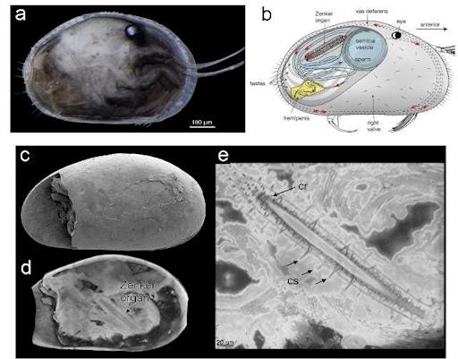Details of the world's oldest and best-preserved sperm, dating back 17 million years