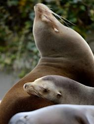 A sea lion sleeps at the zoo in Wuppertal, western Germany, on April 19, 2012. Study shows how some mammals, such as sea lions, collapse their lungs in order to avoid decompression sickness caused by nitrogen gas in the bloodstream