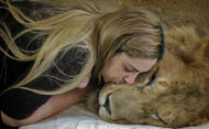 ALTERNATIVE CROP OF XAP102.- Veterinarian Livia Pereira kisses paralyzed lion Ariel who she is caring for in her home in Sao Paulo, Brazil, Wednesday July 13, 2011. An Internet and Facebook campaign has been launched in Brazil to obtain funds needed to treat the lion that has been paralyzed for the past year. The campaign was launched by Raquel Borges, the owner of Ariel, a three-year-old, 310 pound (140 kilogram) lion that has been unable to use his four legs due to a degenerative disease affecting his medulla. Borges runs a a shelter that cares for sick or abandoned animals. Borges and Pereira say that the money needed to pay for Ariel's treatment come from donations from people who belong to the Facebook page created for the lion. (AP Photo/Andre Penner)