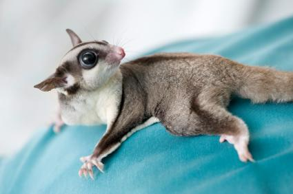 Is there a vet in your area that is knowledgeable about sugar gliders?