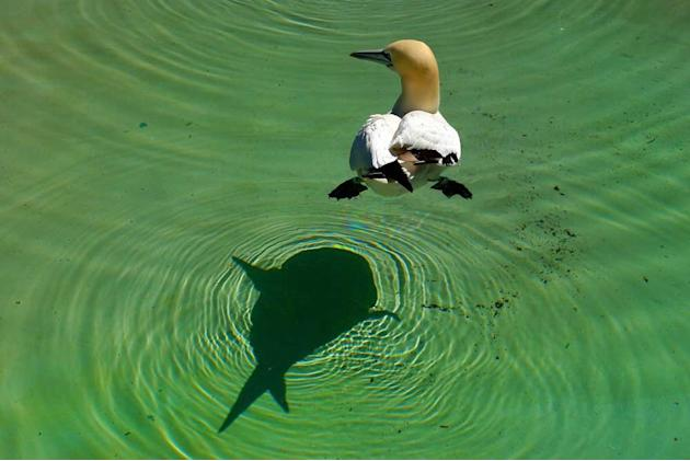 This extraordinary picture captures the moment a harmless gannet seems to be being stalked by a ferocious shark. As the oblivious bird gently paddles across the waters surface it looks like a sinister