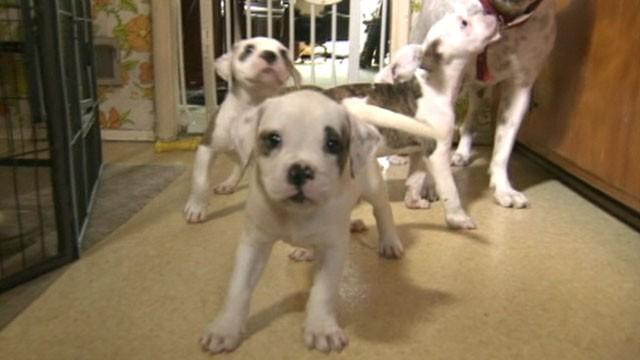 Four American Bulldog Puppies Home After Kidnapping